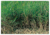 barmudagrass